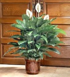 blomster spathiphyllum